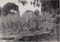 Vanilla culture in Puerto Rico (1948) (19947203154).jpg