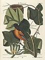 Verzameling van uitlandsche en zeldzaame vogelen (Tab. XCVI) (7894267050).jpg