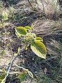 Viburnum lantana (Caprifoliaceae) 01.jpg