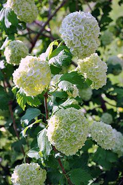 Viburnum opulus snowball tree