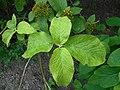Viburnum veitchii 2016-05-17 0174.jpg