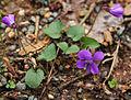 Viola sororia common violet.jpg