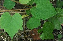 Photographie montrant le feuillage de Vitis amurensis.