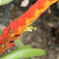 Vriesea duvaliana-IMG 7100.jpg