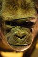 WLANL - Paul Brink - Gorilla.jpg