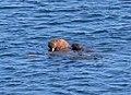 Walrus giving pup a ride.jpg