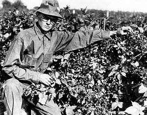 Knott tending berries in 1948