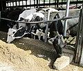 Wanner's Farm Narvon Pennsylvania cows feeding.jpg