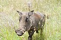 Warthog (2373305547).jpg