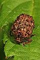 Warty Leaf Beetle - Neochlamisus species, Julie Metz Wetlands, Woodbridge, Virginia - 14105934177.jpg
