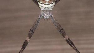 File:Wasp spider (Argiope amoena) in Chiba.webm