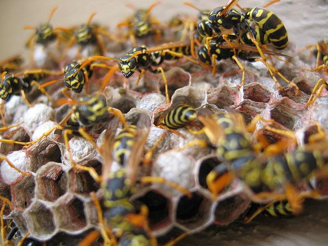 Wasps Busily Nesting