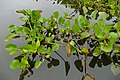 Water Hyacinths (Eichhornia crassipes) (28661786773).jpg