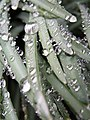 Waterdrops like jewels (2331586604).jpg