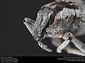 Weevil of Ethiopia (40501479542).jpg