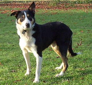 Welsh Sheepdog Dog breed