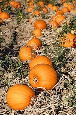 Wesseling Germany Pumpkins-01.jpg