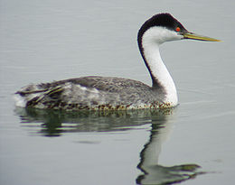 Western Grebe at the Cabrillo Salt Marsh
