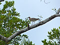 Whimbrel (Numenius phaeopus) perched on branch (15664255220).jpg