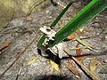 Whistling tree frog (Litoria Verreauxi) (8236172479).jpg