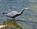 White-Faced Heron (8255650279).jpg