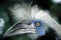 White-crowned Hornbill (Berenicornis comatus) (7795091322).jpg