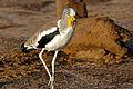 White-crowned Lapwing (Vanellus albiceps) (16532748436).jpg