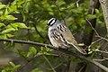 White-crowned Sparrow - Point Pelee - Ontario 10052017-FJ0A4203 (38916648265).jpg