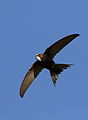 White-rumped swift, Apus caffer, at Suikerbosrand Nature Reserve, Gauteng, South Africa (23244631962).jpg