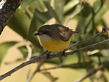 White-throated Gerygone kobble aug08.JPG