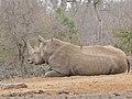 White Rhino (Ceratotherium simum) (32344656182).jpg