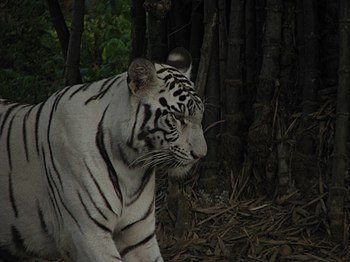 White Tiger Cooling Off in a Summer Evening. 09.jpg