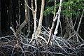White ibis on mangroves, Everglades National Park - panoramio.jpg