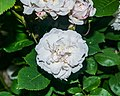 White rose in Sainte-Eulalie-d'Olt 01.jpg