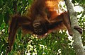 Why is everything upside down ^^ Orangutan at Sepilok Sanctuary Center - Sabah - Borneo - Malaysia - panoramio.jpg