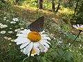 Wild daisy.jpg