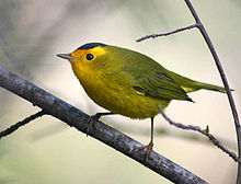Small greenish bird with yellow face and black cap, perched on a diagonal branch