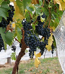 Wine grapes04.jpg