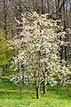Wiosna w Świnach(Sudety, Pogórze Kaczawskie)(Aw58)P4190326.JPG