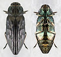 Wood-boring beetle (Buprestidae sp.), Hogsback Mountain, Marquette, Michigan.jpg