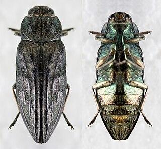 Woodboring beetle
