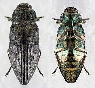 Woodboring beetle - Woodboring beetle
