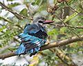 Woodland Kingfisher (Halcyon senegalensis).jpg