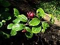 X Sinocalycalycanthus Hartlage Wine - Flickr - peganum (4).jpg