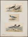 Xema sabini - 1700-1880 - Print - Iconographia Zoologica - Special Collections University of Amsterdam - UBA01 IZ17900296.tif