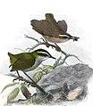 Xenicus longipes Keulemans.jpg
