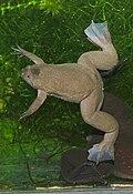 Xenopus tropicalis01.jpeg