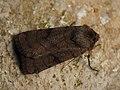 Xestia sexstrigata - Six-striped rustic - Земляная совка темноватая (41098518471).jpg