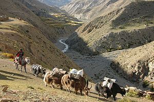 Dolpo - Yak caravan near Saldang in the northern part of Dolpo.