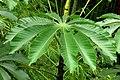 Yarumo negro (Cecropia angustifolia) - Flickr - Alejandro Bayer (1).jpg